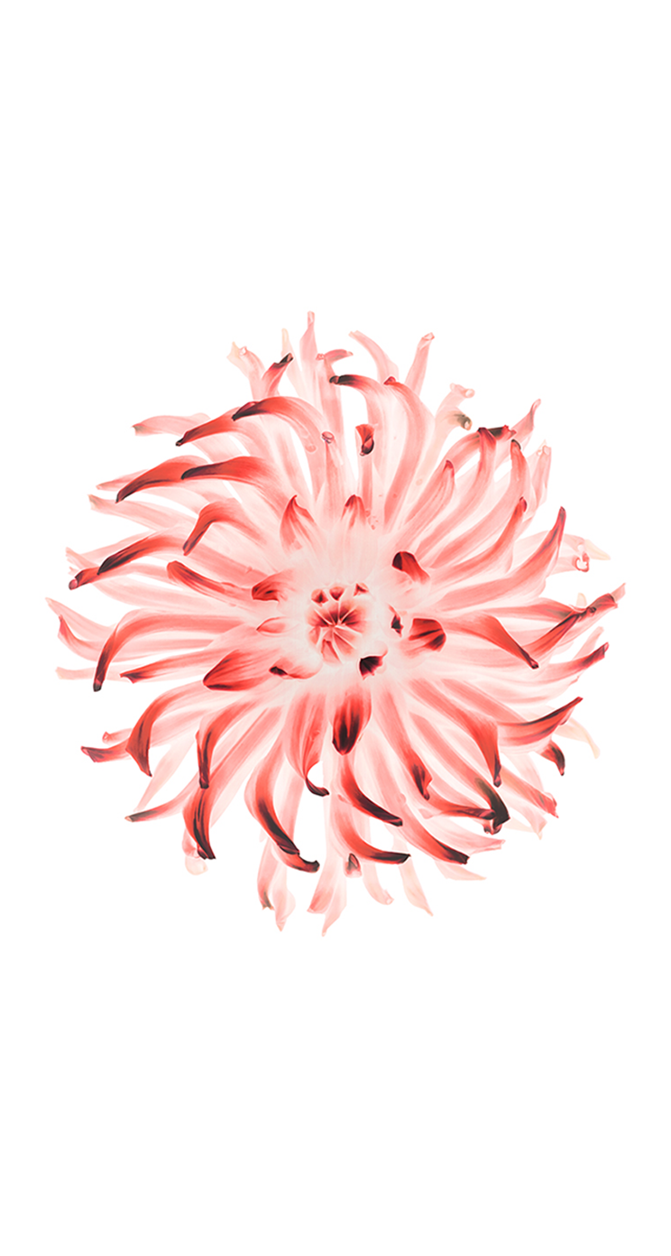 Sfondi apple fiore